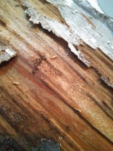 Protección de la Madera contra Xilófagos - termitas