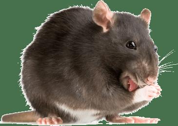 eliminar ratas Valencia