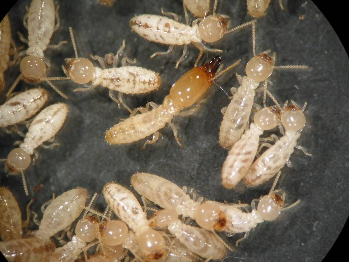termitas y carcoma