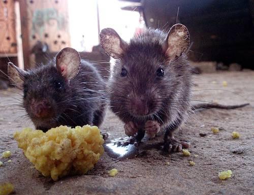control de ratas en valencia