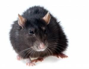 Eliminar ratas en Valencia