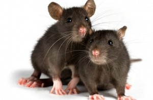 Extinción de ratas en Valencia