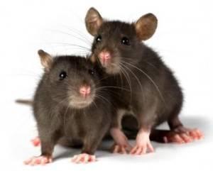 Servicio para eliminar ratas en Valencia