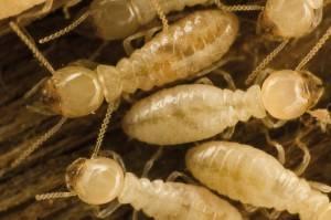 Tratamiento contra termitas