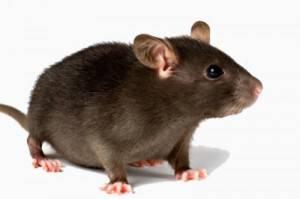 Profesionales en eliminar ratas en Valencia