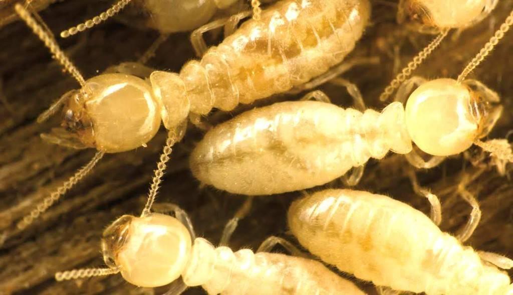Tratamiento termitas Valencia - Más de 25 años de experiencia