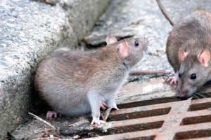 Empresa de fumigación Valencia - Control de plagas de roedores