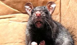 Problemas de roedores Valencia - Empresa con experiencia