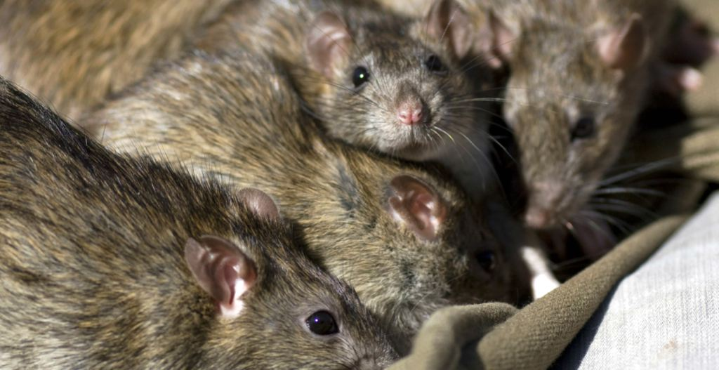 Problemas de roedores Valencia - Servicios de gran calidad