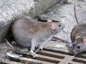 Problemas de ratas Valencia - Control de plagas Valencia