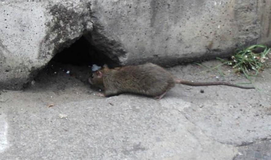 Problemas de ratas Valencia - Servicios de calidad