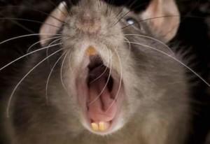 Tratamiento contra roedores Valencia