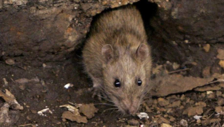 Tratamiento contra roedores Valencia - Empresa profesional